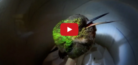 Snoring Hummingbird – Super Cute Animals: Preview – BBC One