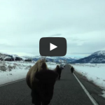 You won't believe what these Yellowstone buffalo do!!!