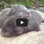 Baby small-clawed otters at a Japanese Zoo