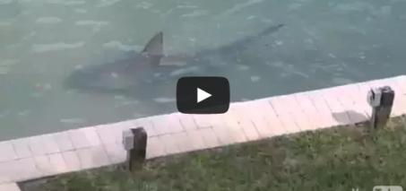 Backyard shark in Southwest Florida