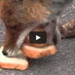 Chernobyl fox makes five-decker sandwich