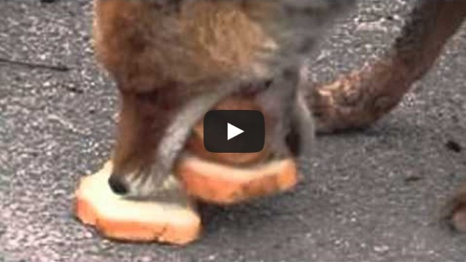 Chernobyl Fox Makes Five Decker Sandwich