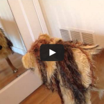Gus the boxer dog vs. lion costume