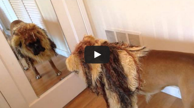Gus the boxer dog vs. lion costume