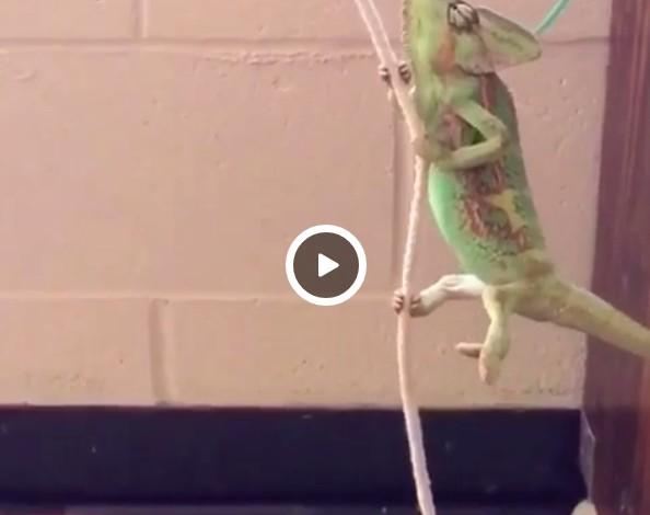 wrecking ball chameleon