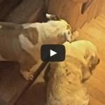 Stubborn Golden Retriever – Subtitled Version