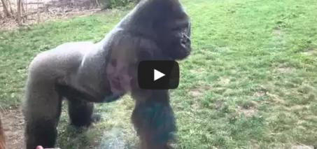 When a Silverback attacks. Gorilla cracks glass!