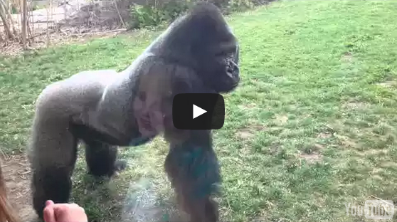 When A Silverback Attacks Gorilla Cracks Glass