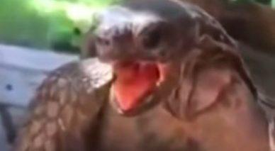 """Coldplay Turtle singing """"Clocks"""""""