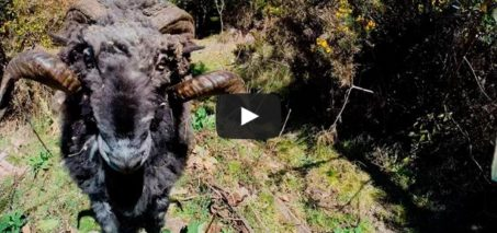 Angry ram takes down a drone… and its owner