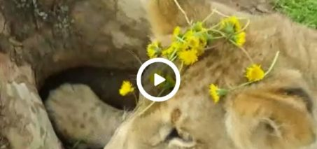 Araali sure is a dandy feller! Man puts dandelions on lion's head