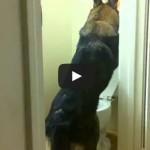 Baron the german shepherd using the toilet!