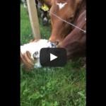 Bulldog meets bull!