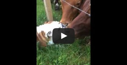 Bulldog meets bull!