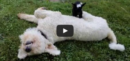Newborn Goat tries to cross over Dog