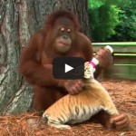 Orangutan Babysits Tiger Cubs (AnimalsMedia.com)