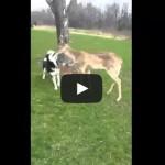 Siberian Husky Dogs Play with Wild Deer