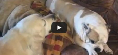 Stubborn Bulldog – Subtitled Version