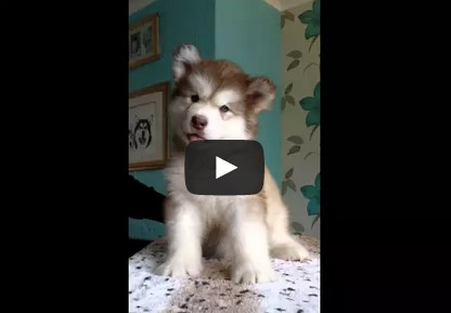 Teikota puppy - Alaskan malamute