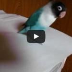 Funny parrot tap dance