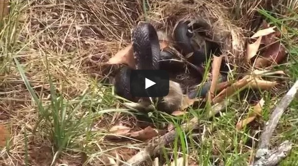 Mommy Rabbit fights with Snake to save the bunnies
