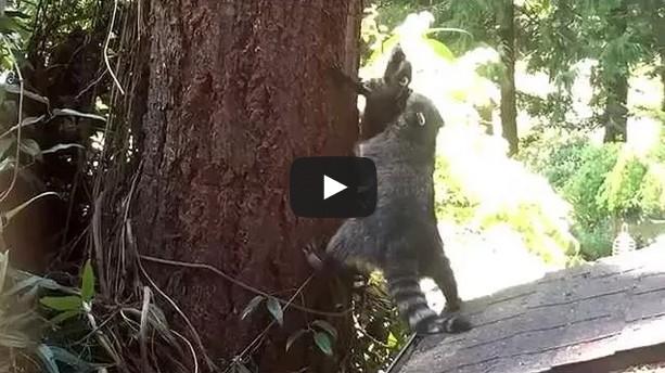 Mother Raccoon teaches kit how to climb a tree