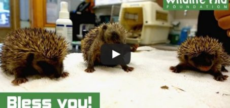 Cute baby hedgehogs sneezing