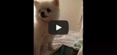 Epic Pomeranian puppy sneeze.