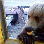 Man feeds wild bear through window in Siberia