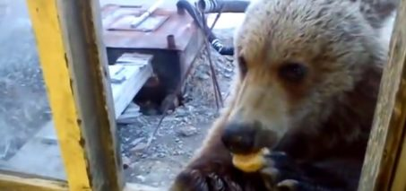 Man feeds wild bear through window in Siberia