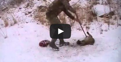 Bobcat release – Guys release a bobcat from a bear trap