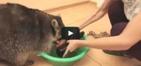 Raccoon will wash everything you love!