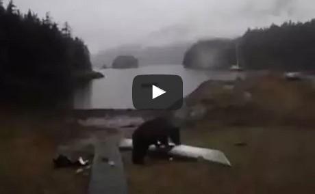 Black Bear Gnaws on Delta 15s Seakayak in Berg Bay, Alaska