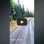 Dual Cougar Attack in Northern Alberta Canada