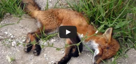 Tammy and Todd miracle – Fox saved by people