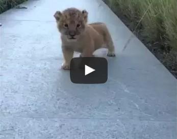 The littlest roar