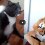 Cat really hates this tiger