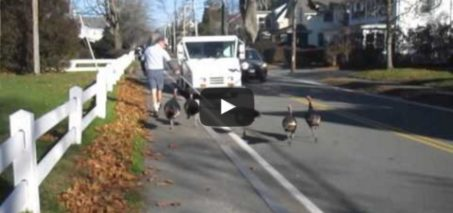 "Turkeys Attack Falmouth mailman ""Every day."""
