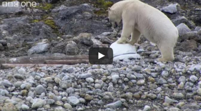 Polar bears smash the spy cams