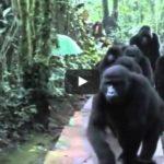 Wild gorilla family bonds with humans :)