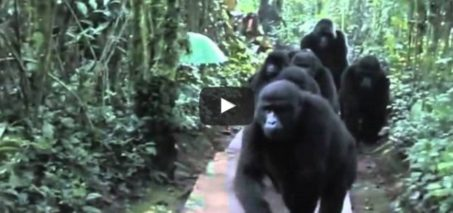 Wild gorilla family bonds with humans :)