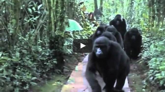 Wild gorilla family bonds with humans