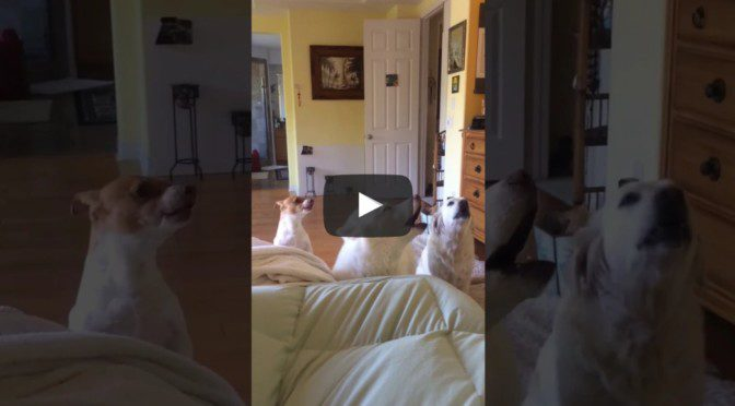 Cute White Husky and two other dogs barking and howling together