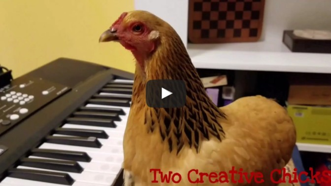 Patriotic Chicken Playing Keyboard Piano